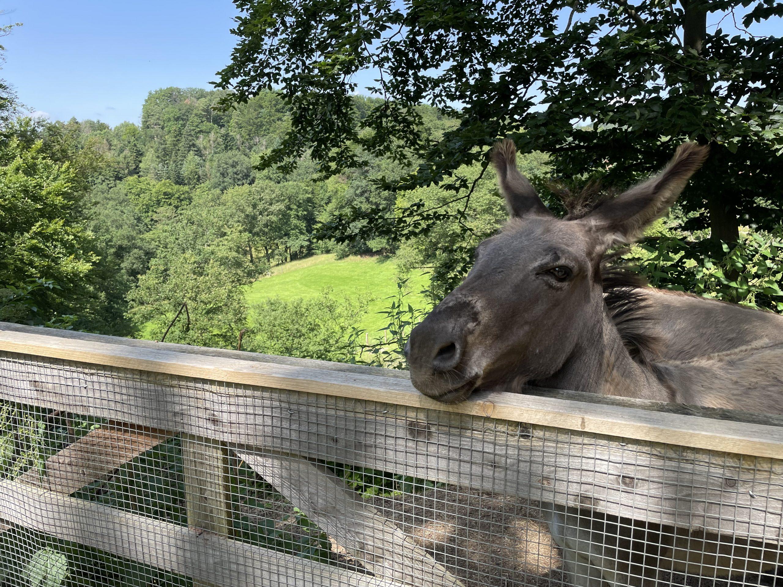 Esel im Wildpark Hardegsen